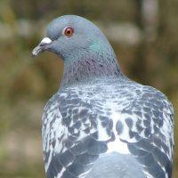 A pigeon. Image credit: author Christian Jansky (CC BY-SA 2.5)