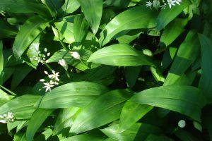 Wild garlic - ramson - Allium ursinum - (CC BY 2.0) author allispossible.org.uk